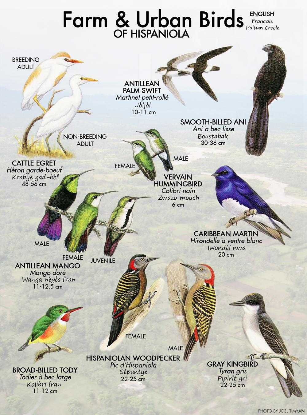 Birds Of Haiti